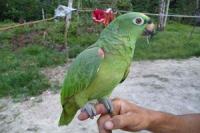 El loro pelado (Der Nackte Papagei)